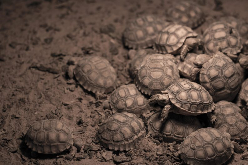 turtles emerging from sand to light